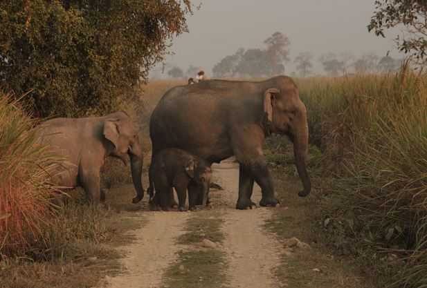 Asian Elephants at Kaziranga