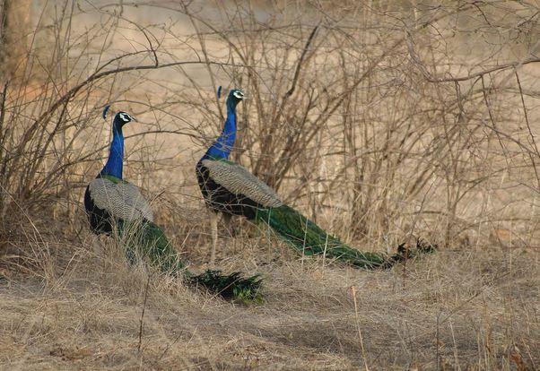 Peacocks at Ranthambore National Park