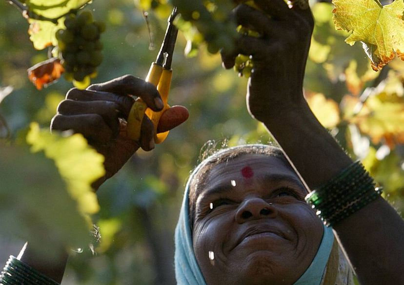 Vineyard Worker in India