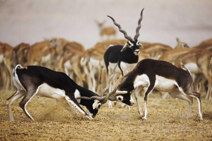 Black Buck Antelopes Locking Horns
